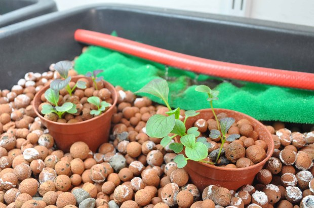 Pak choi seedlings, planted in bottomless pots for easy transferal and greater stability. White mineral deposits on pebbles (have recently appeared but do no harm).